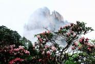 春天里 登黄山赏花:春游黄山攻略